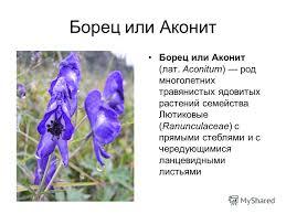Презентация на тему Доклад на тему Борец или Аконит ядовитое и  2 Борец