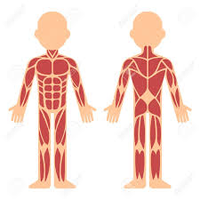 Stylized Muscle Anatomy Chart Front And Back Male Body Major