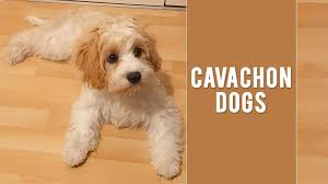 Cavachon Puppy Weight Chart Cavachon Cute Fluffy And Adorable Dog Breed Petmoo