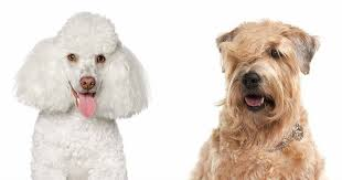 have you heard of the whoodle dog breed are you curious to learn more about this poodle and soft coated wheaten terrier mix