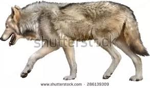Wolf Vs Dog Size Chart Whats The Size Difference Between Wolves And German