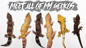 Leopard Gecko Morph Chart All Of My Geckos Age Morph Size Shop Or Breeder