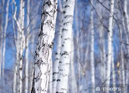wall mural vinyl winter birch tree forest the environmental background