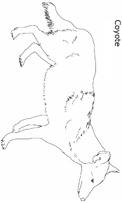 Small Picture Coyote Coloring Pages Printable 19793 Bestofcoloringcom