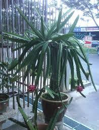 Mattslandscapecom Hylocereus Growing InformationHow To Take Care Of Dragon Fruit Tree