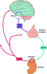 Hpa Axis Schematic Diagram Of The Hypothalamic Pituitary Adrenal Hpa Axis