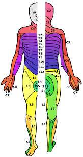 Spinal Dermatomes Chart Spinal Cord Injury Wikipedia