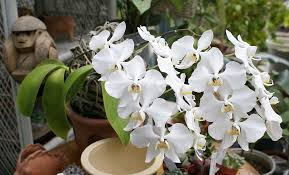 Resultado de imagem para Phalaenopsis amabilis: .