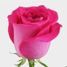 Choose from a curated selection of rose photos. Rose Topaz Hot Pink 40cm Wholesale Blooms By The Box