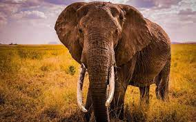 Elephant Images Free Download ...