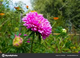 pink aster flowers garden pink bud autumn flowers stock photo