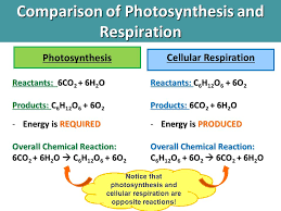 45 comparison of photosynthesis and respiration
