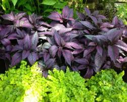 here at garden gate nursery we carry a diverse collection of quality perennial shade plants such as ferns jacobinias caladiums hostas and gingers that