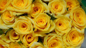 rose yellow flower wallpapers id 743525