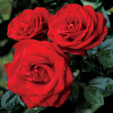 Best English Roses For HedgesFragrant Rose Plants