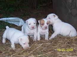 white pitbull terrier puppies. Unique Terrier American Pit Bull TerrierFor Sale For Sale To White Pitbull Terrier Puppies U