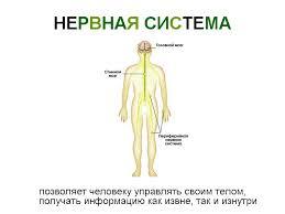 характер деятельности нервной системы Рефлекторный характер деятельности нервной системы
