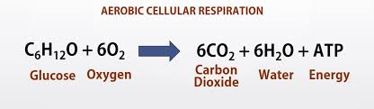 notice that the reactants of cellular respiration are the s of the photosynthesis and the reactants of photosynthesis are the s of the