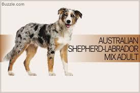 chocolate lab australian shepherd mix. Wonderful Chocolate Australian Shepherd Labrador Mix Adult Intended Chocolate Lab Australian Shepherd Mix S