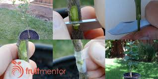 How Deep To Plant Fruit Trees U2013 All Things GreenHow To Graft Fruit Trees With Pictures