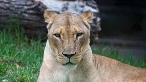 lioness. Wonderful Lioness Cameroon Announce Death Of Lioness In Yaounde On S