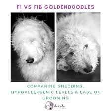 F1 Vs F1b Goldendoodle Which Is Best Comparing Coats