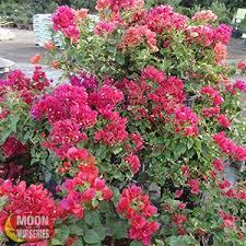 Flowering Shrub  Shrubs  Trees U0026 Bushes  The Home DepotShrub With Pink Flowers