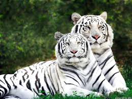 baby white tigers for sale. Interesting Sale Baby White Tigers For Sale With T