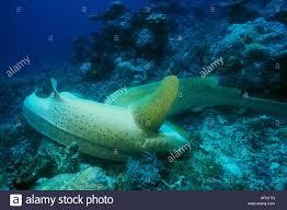 a male zebra shark holds a female upside down in order to mate a male zebra shark holds a female upside down in order to mate her