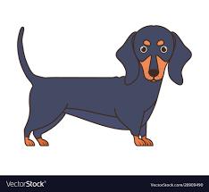 Cute dachshund dog on white background ...