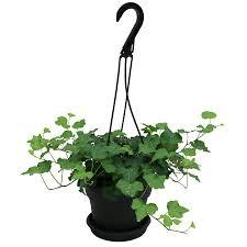 .34 Quart(S) English Ivy Hanging Basket