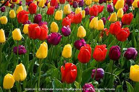 colourful tulip display of tulip flowers tulipa sp at roozen gaarden formal garden in