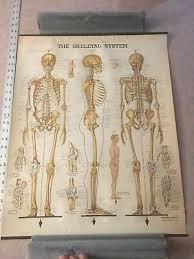Vintage Skeletal System Anatomical Chart Company Chicago