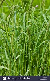 Grass Couch Couch Grass Elymus Stock Photos Couch Grass Elymus Stock Images
