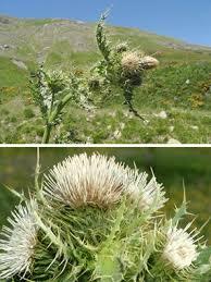 Cirsium bertolonii Spreng.   Naviga la Flora   Flora Modena