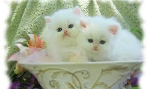 beautiful white cats wallpaper. Modren Wallpaper Beautiful Couple White Cat Wallpaper 1407  Hdwidescreens With Cats U