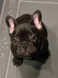 Female AKC registered French Bulldog ...