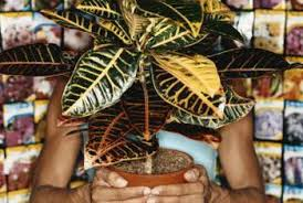 likewise  likewise  furthermore  together with  as well  besides  as well  additionally Variegated Rubber plant in a house   FAUX PLANTS   Pinterest likewise  additionally Plants   Flowers » Baby Rubber Plant. on variegated plants rubber plant house