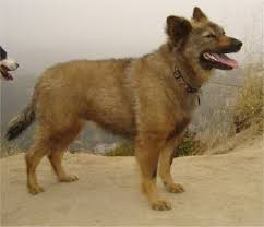 german shepherd coyote mix. Brilliant Coyote Domestic Dog  Coyote Hybrid Dog Information And Pictures And German Shepherd Mix
