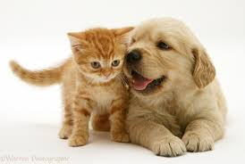 golden retriever puppy and kitten. Perfect Puppy Golden Retriever Pup With Red Spotted British Shorthair Kitten White  Background Intended Puppy And Kitten L
