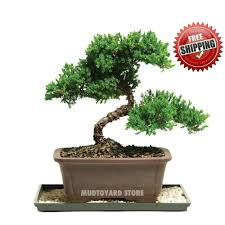 Image Plastic Details About 50pc Japanese Juniper Bonsai Tree Seeds Juniperus Chinensis Seed Office Bonsai Ebay 50pc Japanese Juniper Bonsai Tree Seeds Juniperus Chinensis Seed