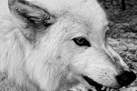 white wolf growling drawing. White Wolf Snarling Drawing Throughout Growling