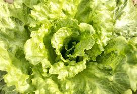 Lettuce Green Leaves Vegetables Free Photo On Pixabay