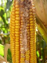 Corn Earworm | Insect | DuPont Pioneer