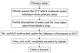 Explain The Formation Of Urine In A Flow Chart Cbse Class