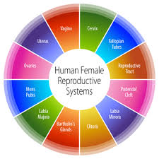 Information Technology Chart Human Female Reproductive Systems Chart Health Information