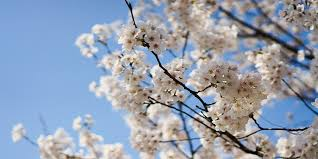 Image result for blooming cherry trees