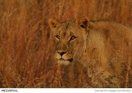 lioness stalking in grass. Beautiful Lioness Lioness Stalking In The Long Grass Throughout Stalking In Grass S