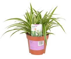 Verve Spider Plant In Plastic Pot