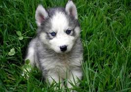 white and grey husky puppy. Interesting Puppy Grey Siberian Husky Puppies With Blue Eyes 108927 Black And White  For Puppy